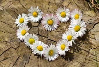 daisy-heart-flowers-flower-heart-large